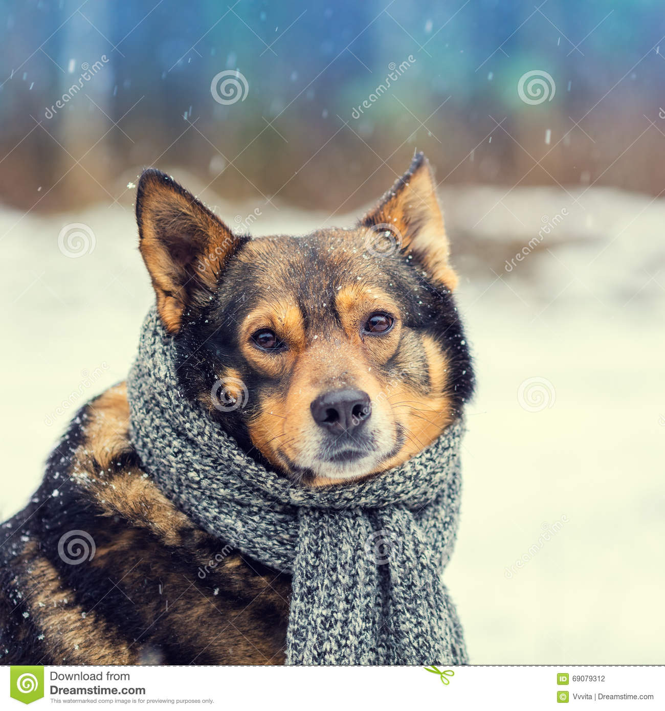 Dog With Knitted Scarf Stock Photo - Image: 69079312