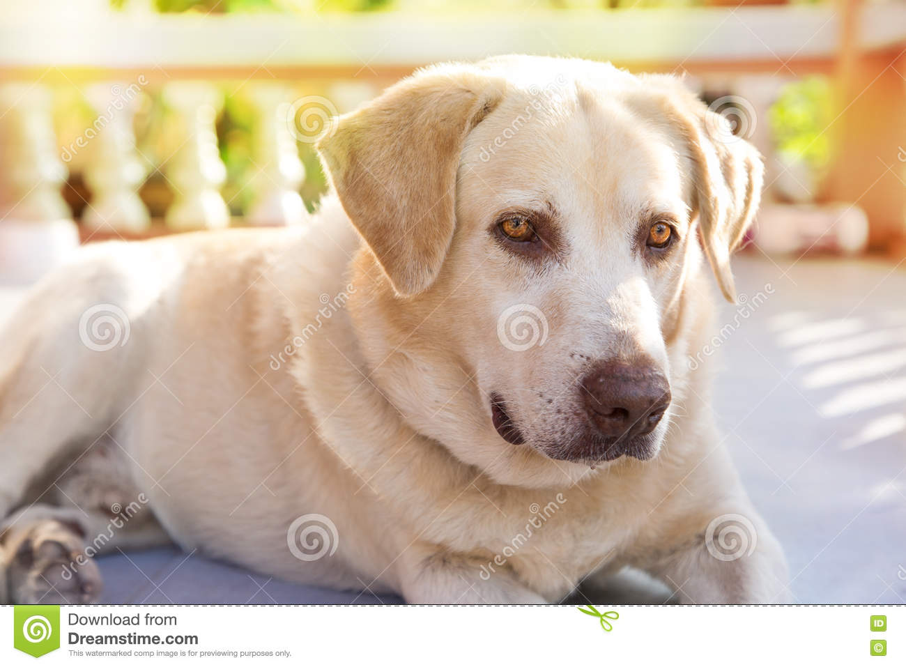 dog labrador retriever lying down front house stock image On dog house for labrador retriever