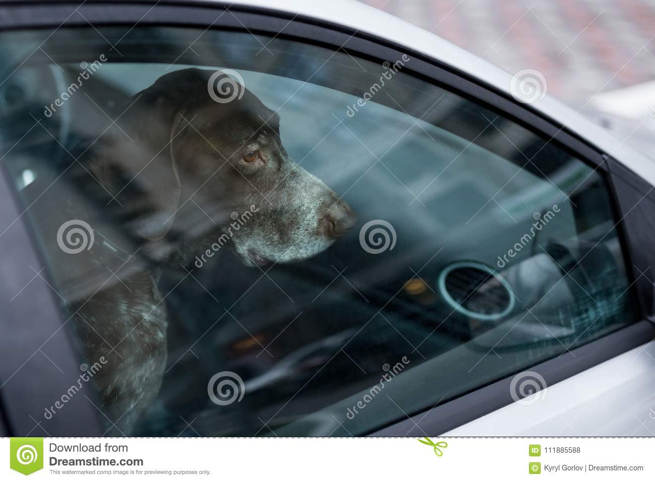 Dog left alone in locked car. Abandoned animal in closed space. Danger of pet overheating or hypothermia. Owner`s negligence and