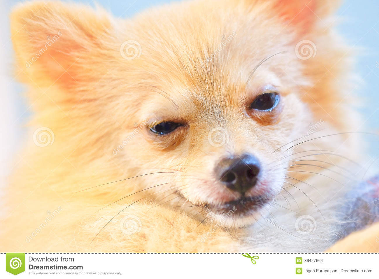 Dog Is Lethargic Stock Photo Image Of Small Puppy Purebred 86427664