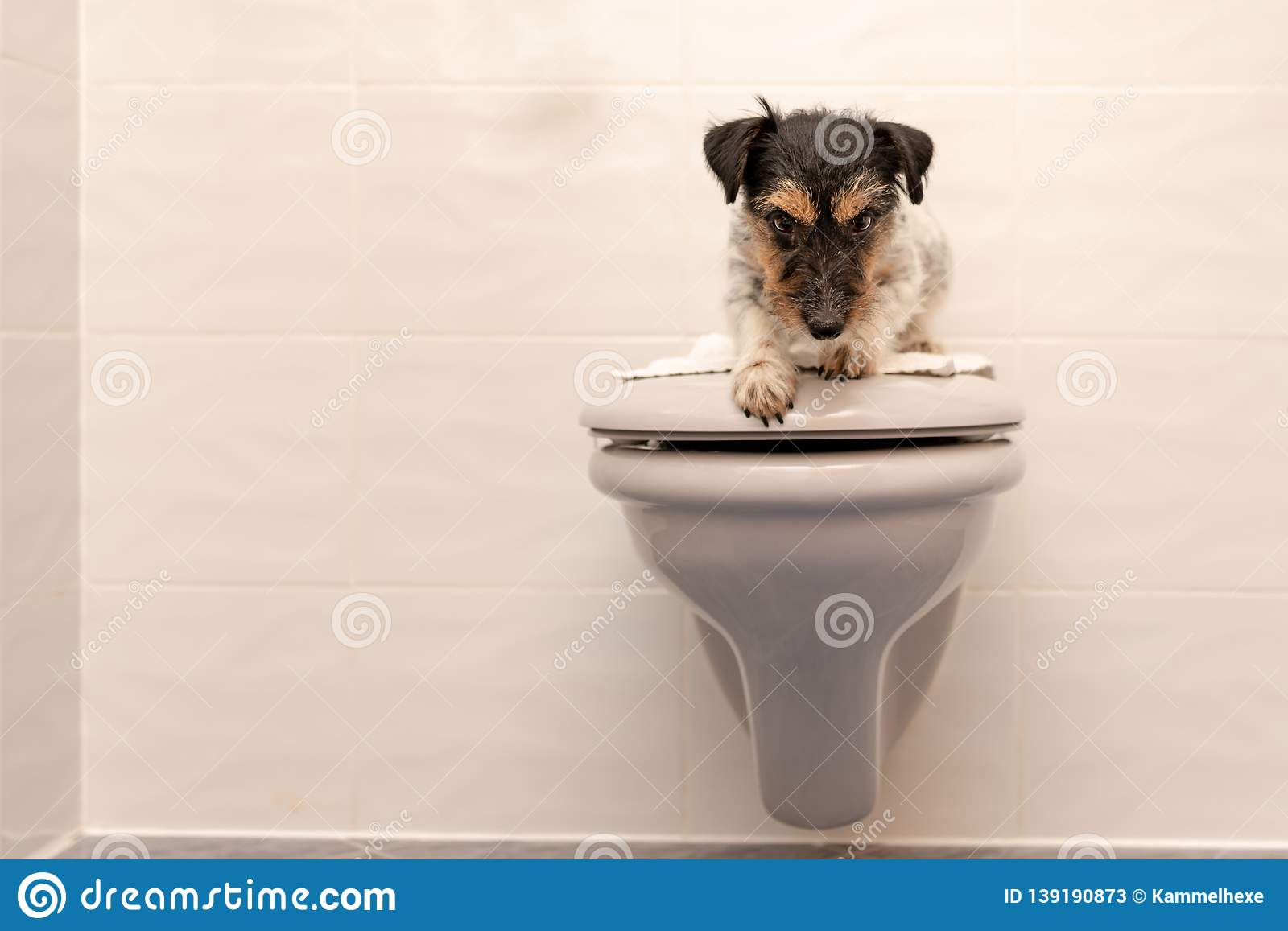 Dog lies on the toilet lid and guards. Jack Russell Terrier 3 years old