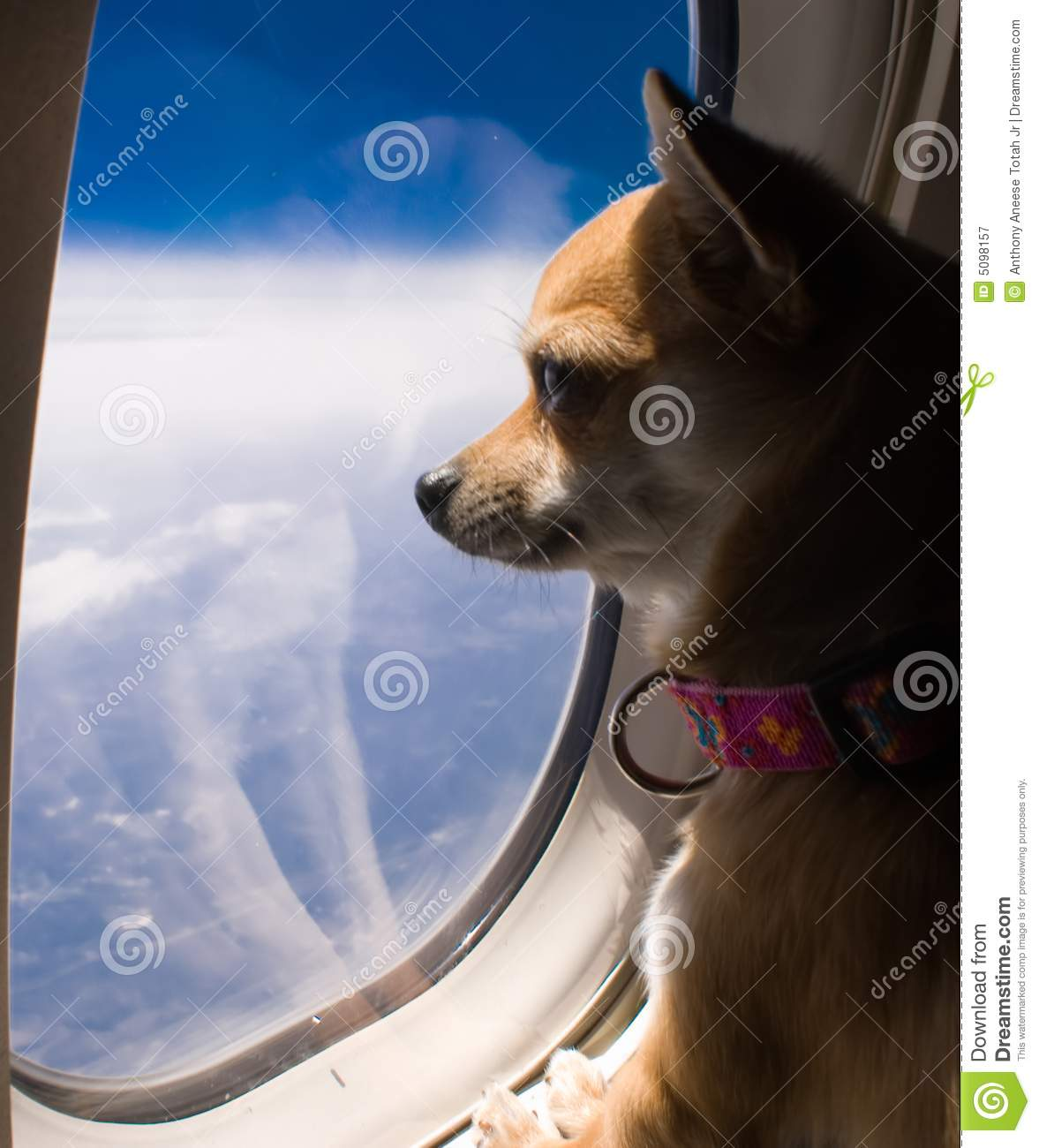 Dog looking out airplane window stock image image of for Small dogs on airplanes