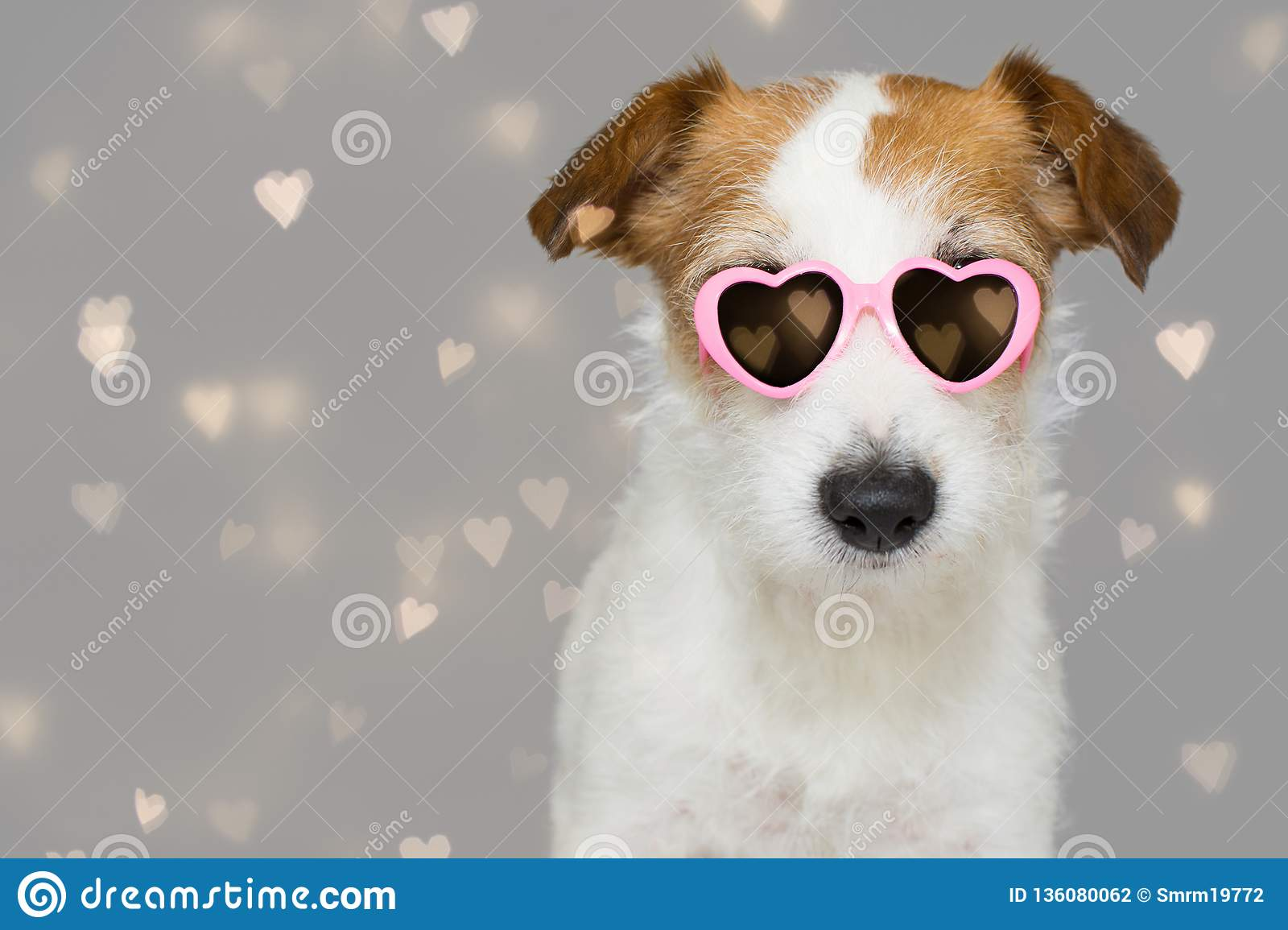 DOG LOVE VALENTINE DAYS. CUTE JACK RUSSELL WEARING PINK EYE SUNGLASSES WITH HEART SHAPE. ISOLATED AGAINST GRAY BACKGROUND WITH