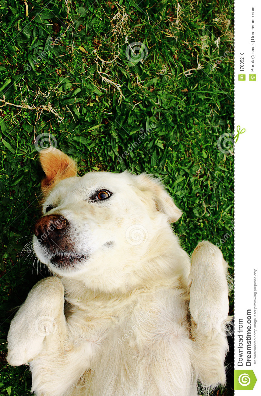 Dog lying on back in grass extending paw