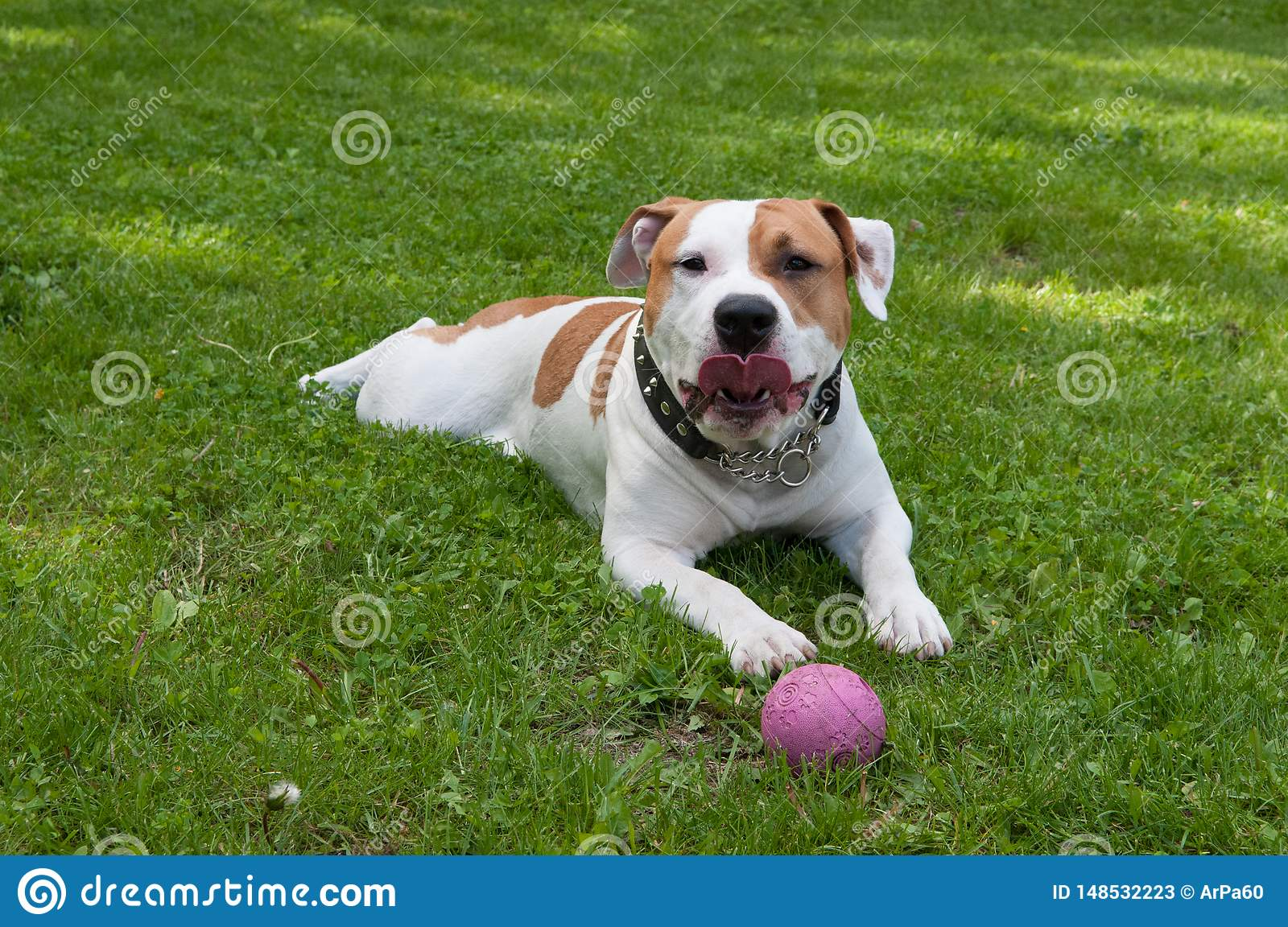 Dog is lying with ball in green grass yard.
