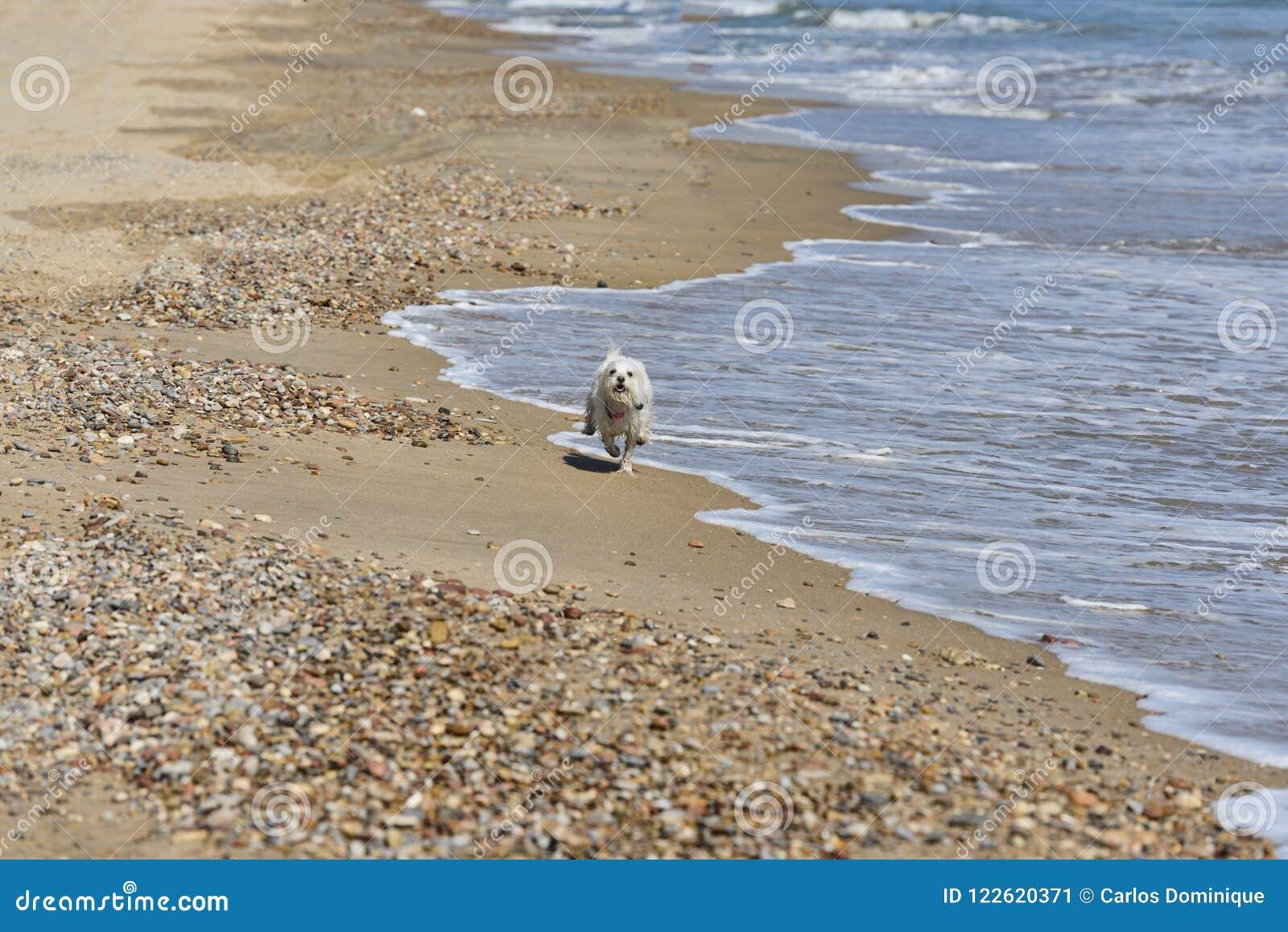 Dog maltesse bichon running in beach