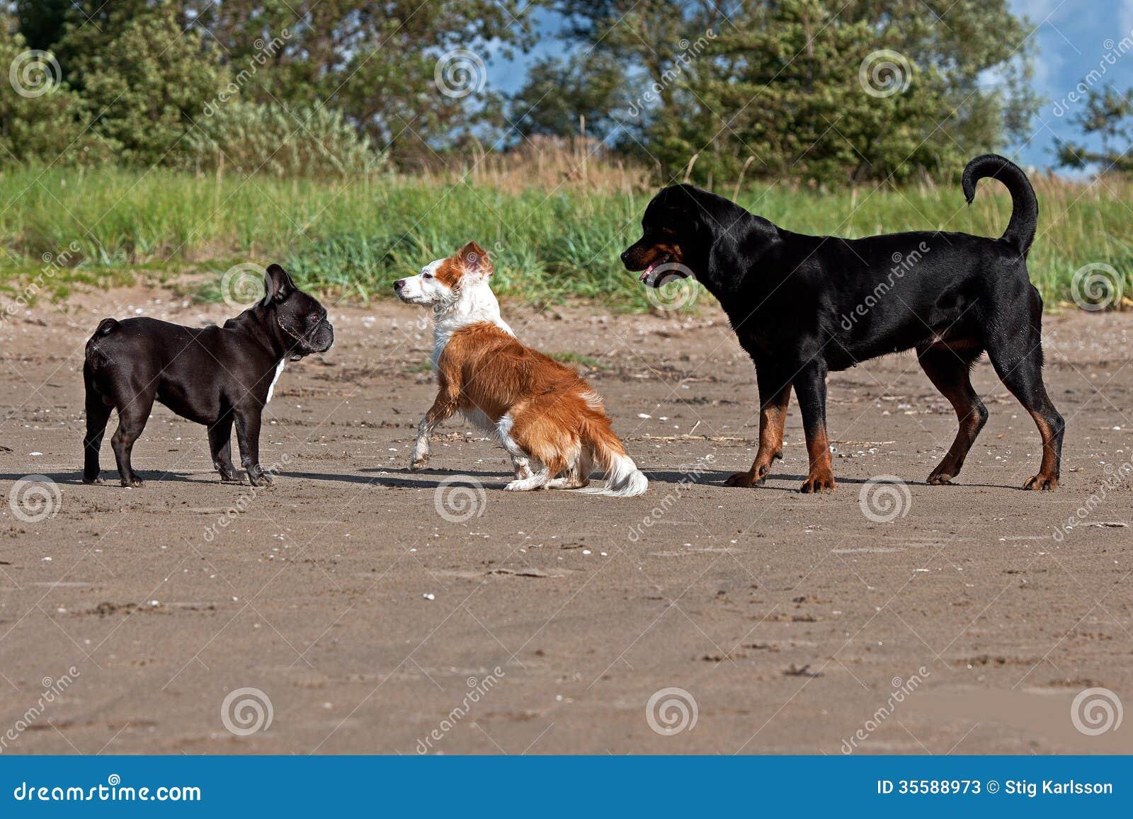 English Bulldog Rottweiler Mix Franch bulldog, rottweiler