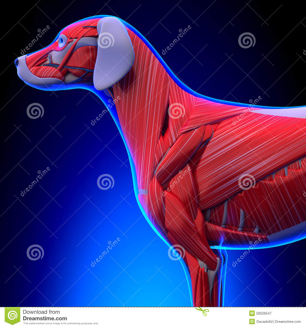 Dog Muscles Anatomy - Anatomy Of A Male Dog Muscles Stock ...