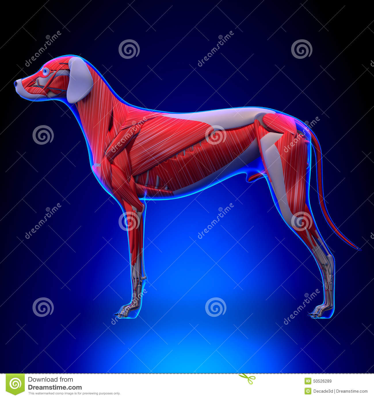 Dog Muscles Anatomy - Muscular System Of The Dog Stock Illustration ...