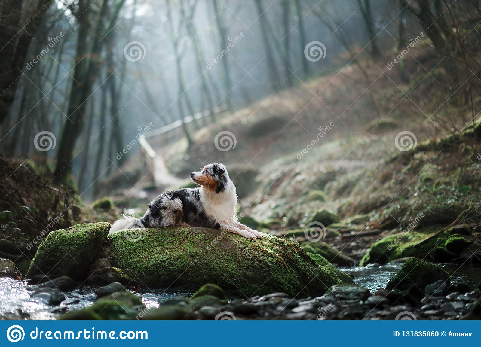 Dog in nature in the morning. Australian shepherd at sunrise near the water. Pet for a walk