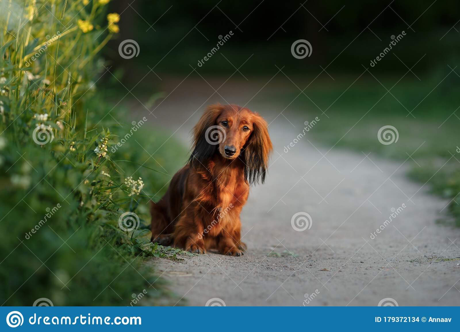 Dog On Nature In The Park Dachshund Puppy Pet For A Walk Stock Photo Image Of Domestic Friend 179372134