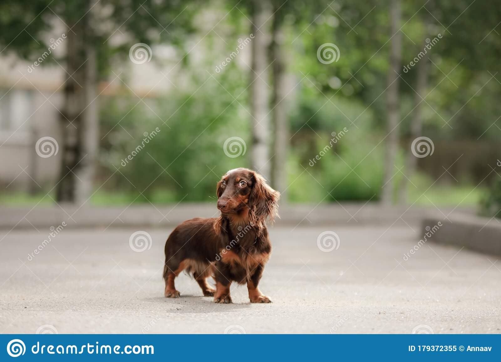 Dog On Nature In The Park Dachshund Puppy Pet For A Walk Stock Image Image Of Outdoors Canine 179372355