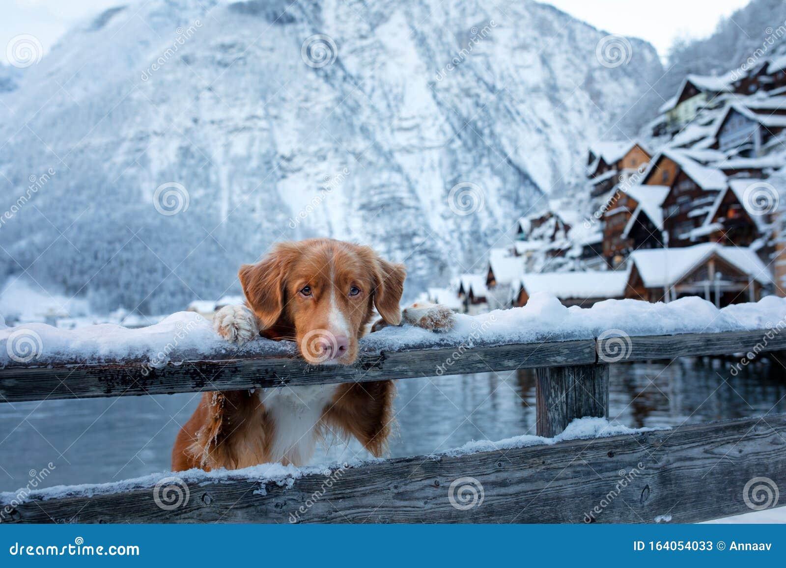 Dog In Nature In Winter Nova Scotia Duck Tolling Retriever In The