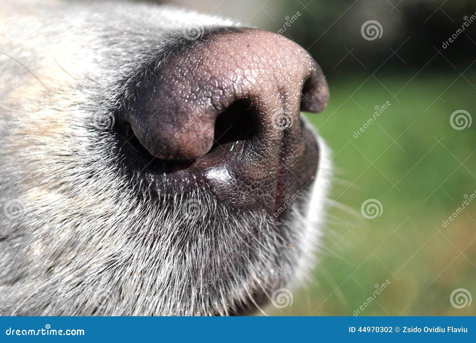 старшим у собаки нос горячий определить, как