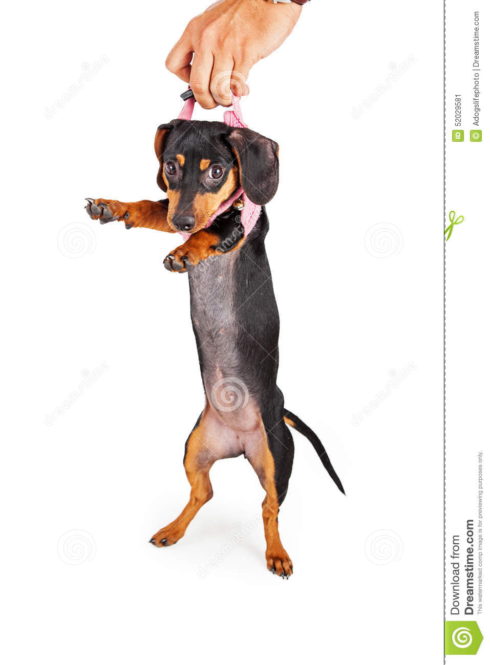 Dog Owner Picking Up Puppy By Harness Stock Image Image Of Canine