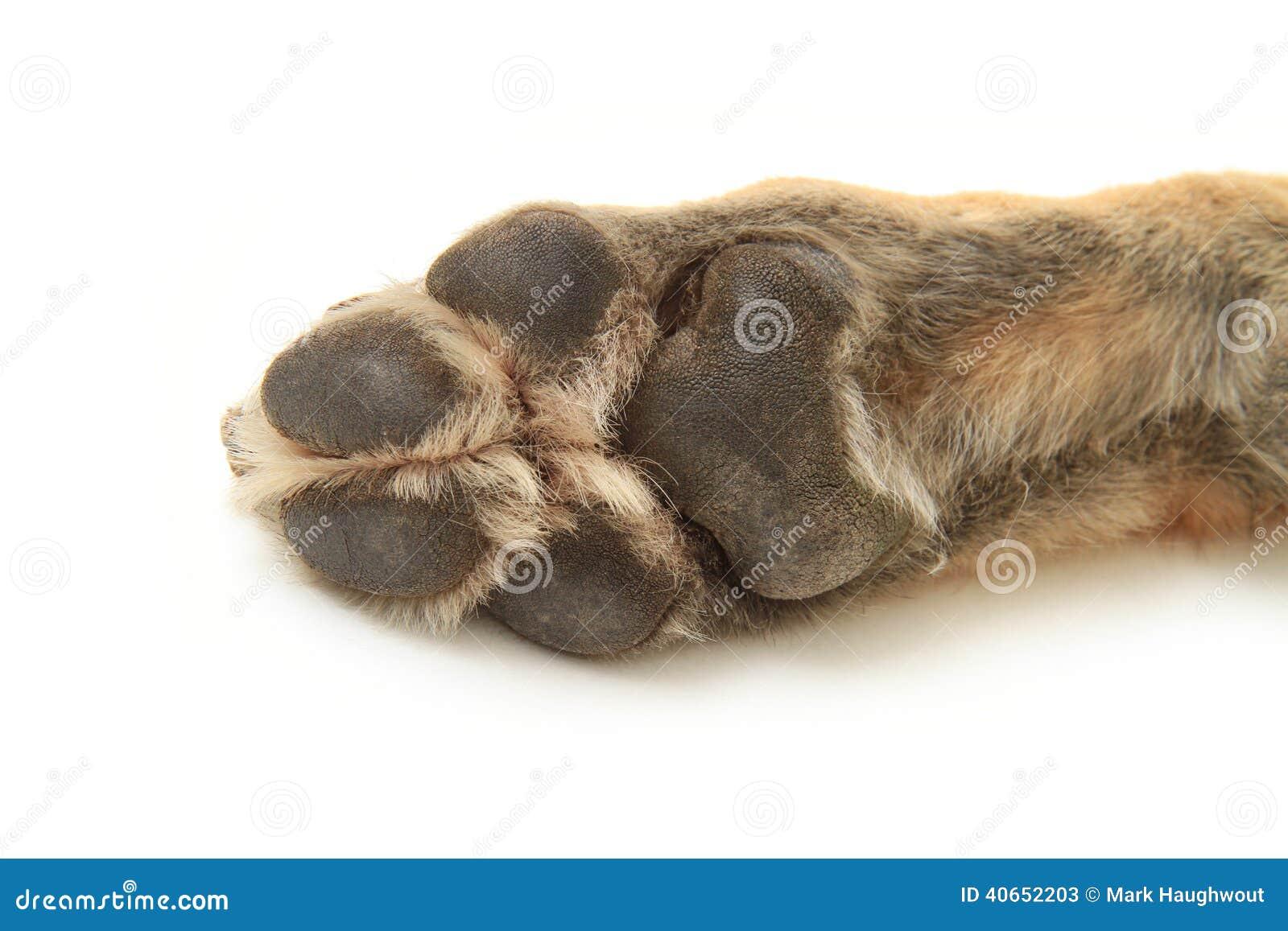 German Shepherd dog paw upside down on a white background.