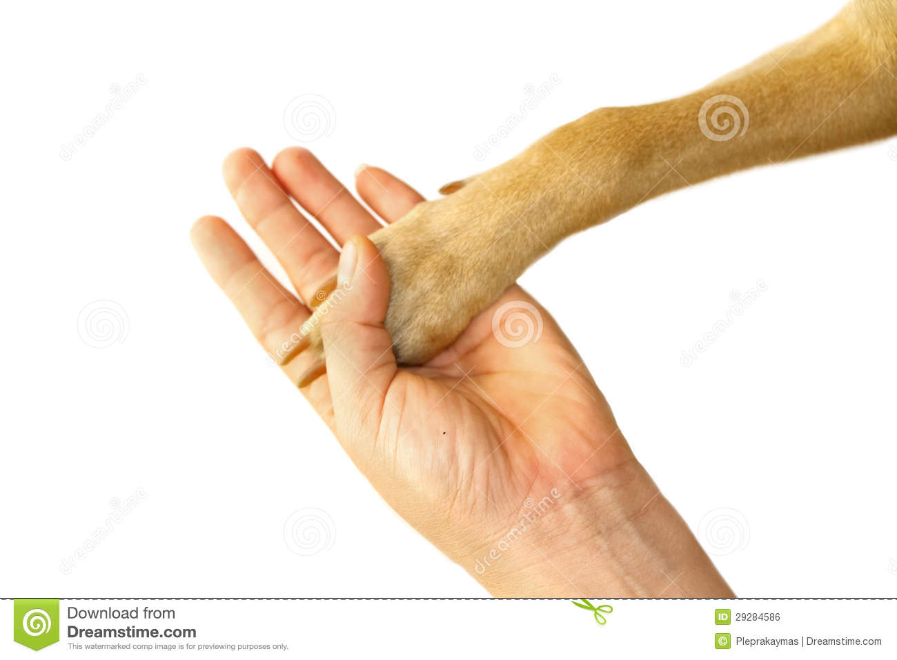 how to train a labrador puppy to shake hand