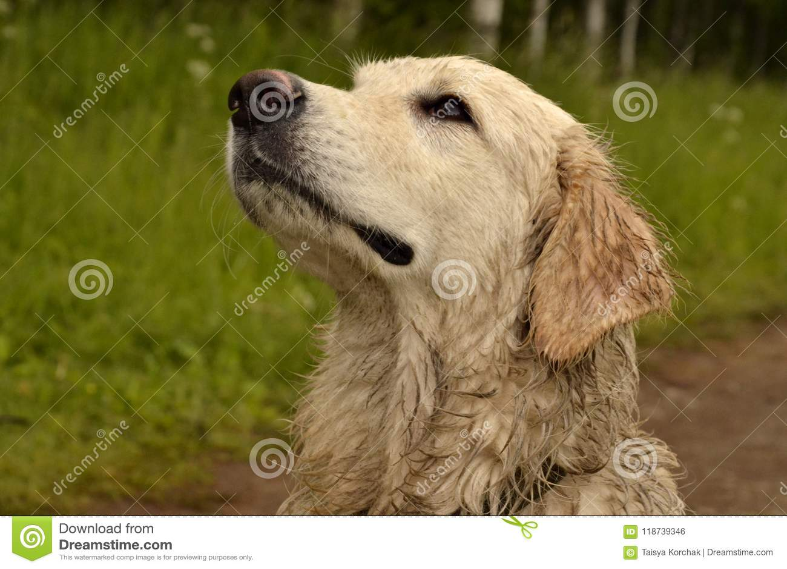 Labrador Puppy Stock Photo Image Of Breeding Golden 118739346