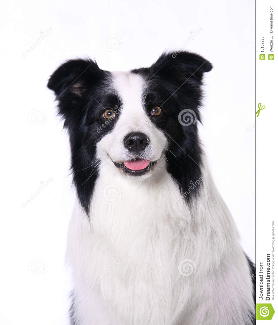 Dog pet Border Collie