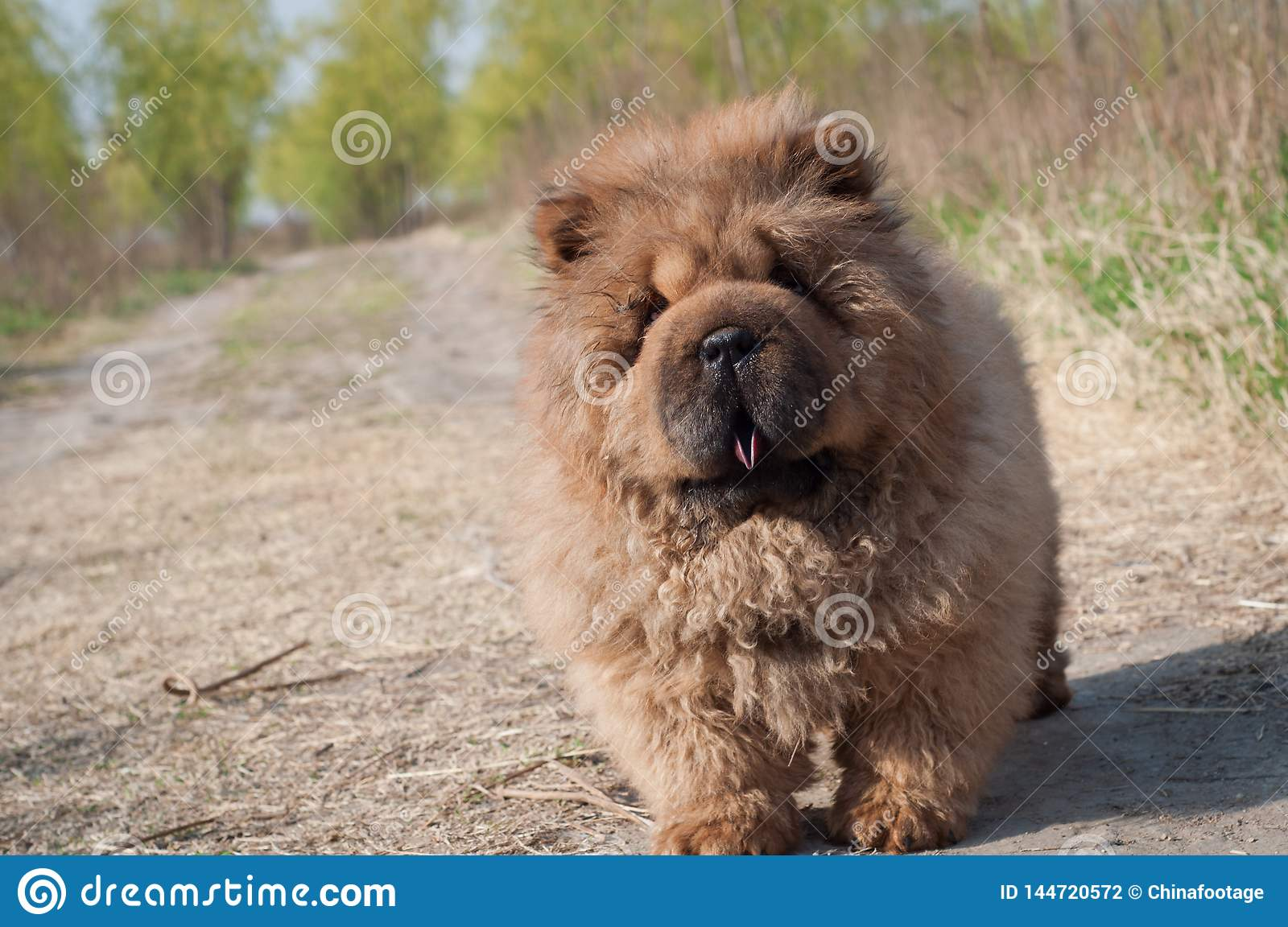 Dog pet chow chow runing on road