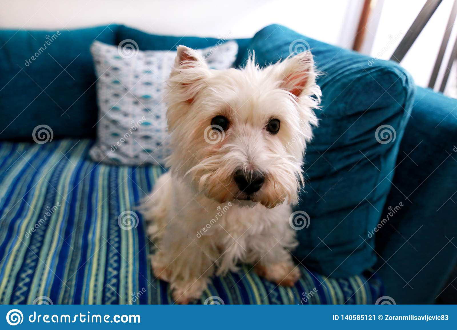 Dog photo shoot at home. Pet portrait of West Highland White Terrier dog lying and sitting on bed and blue blanket couch at house.