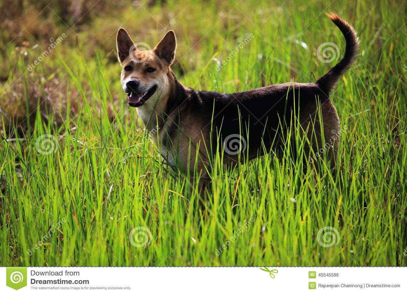 Download Dog stock photo. Image of cute, beautiful, morning, pedigree - 45545586