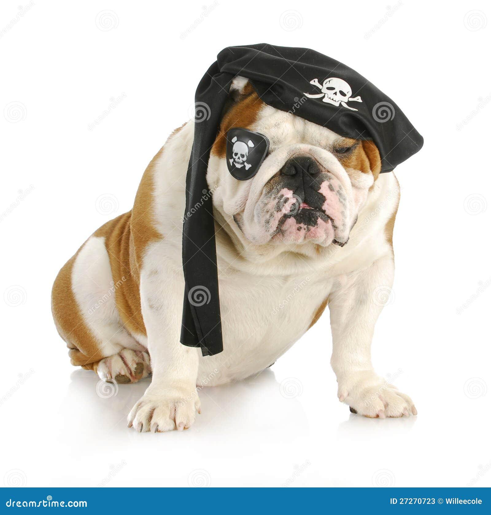 Dog pirate - english bulldog dressed up like a pirate on white ...