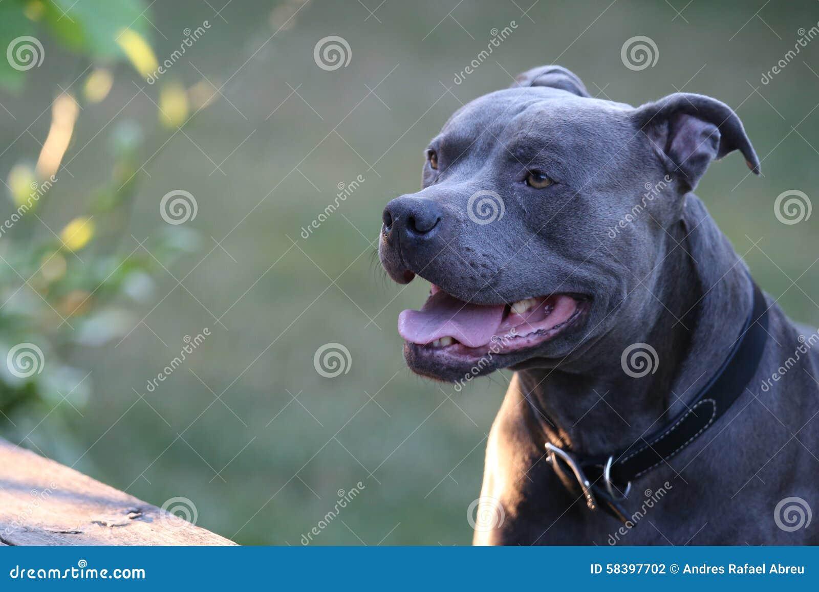 Dog, Pitbull