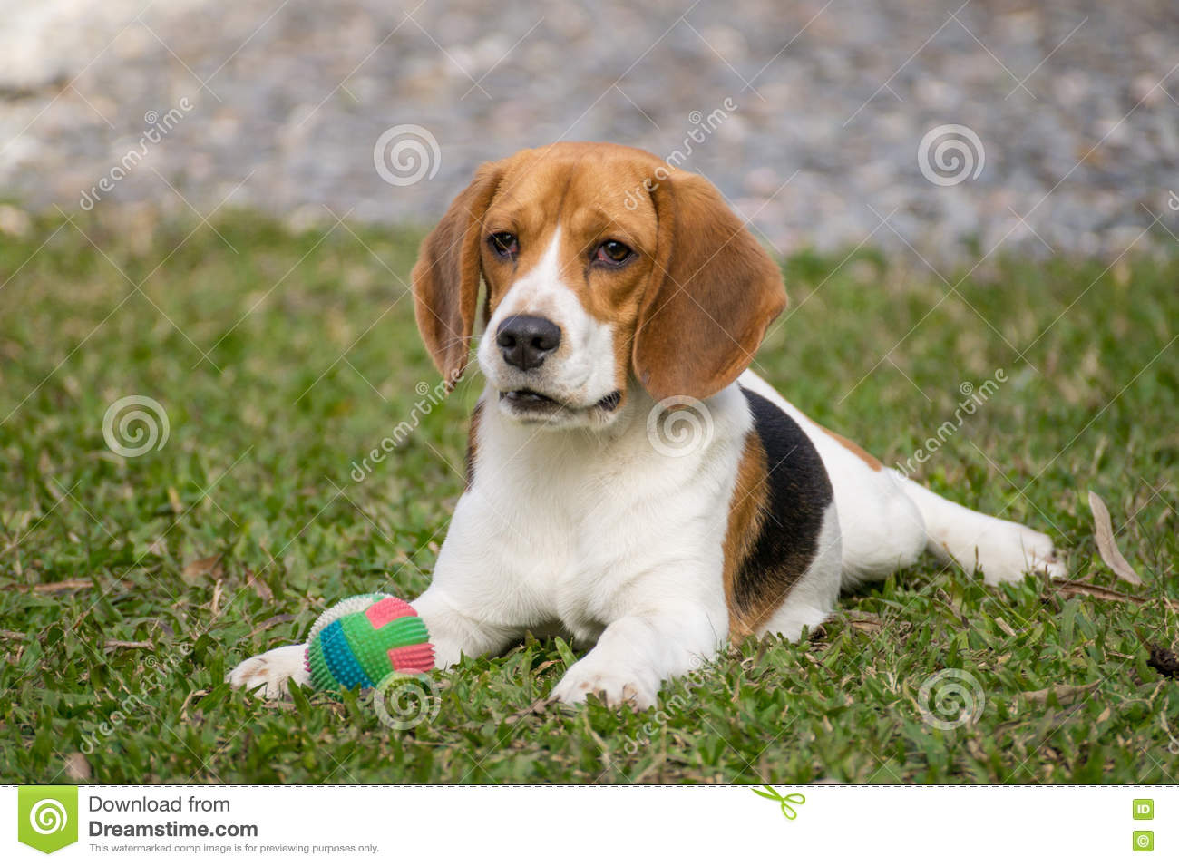 Download Dog playing with ball stock photo. Image of happiness - 75234764