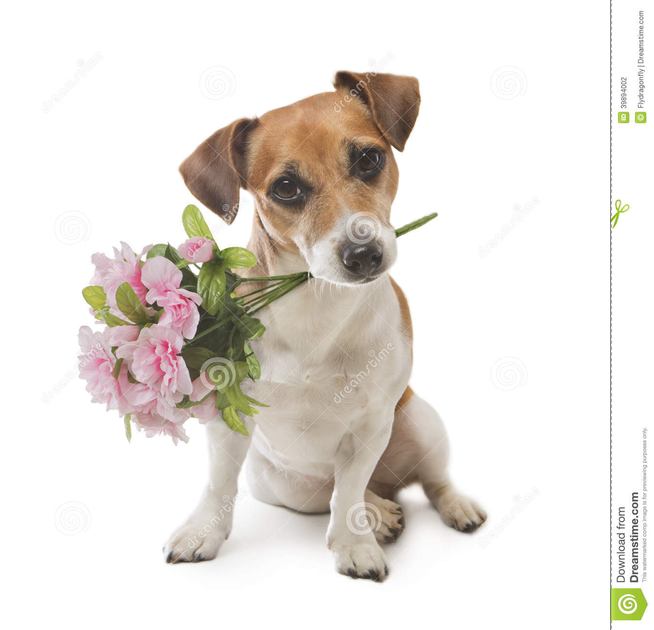 Dog Pleasant Surprise Flower Stock Photo - Image of floral, mouth ...