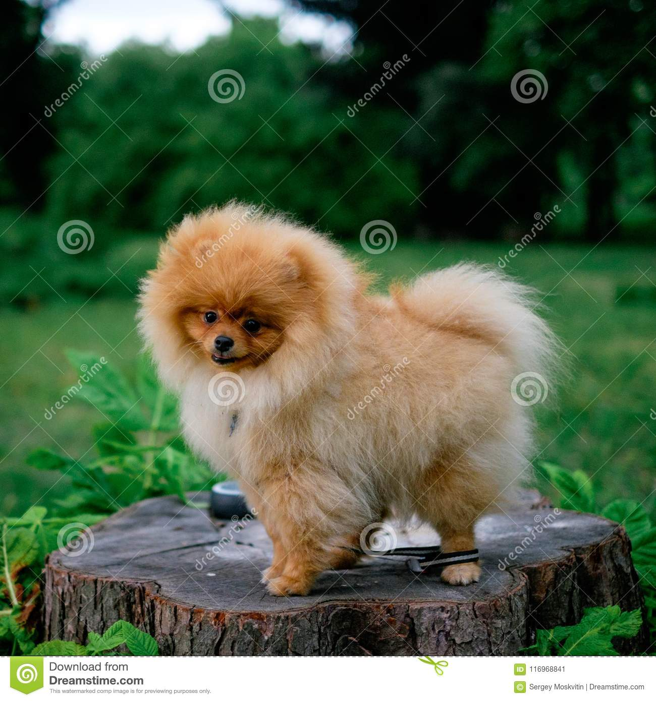 Dog pomeranian spitz smiling watch the evening sun at the park`s nature.  Adult Orange Pomeranian Spitz is sitting on green grass