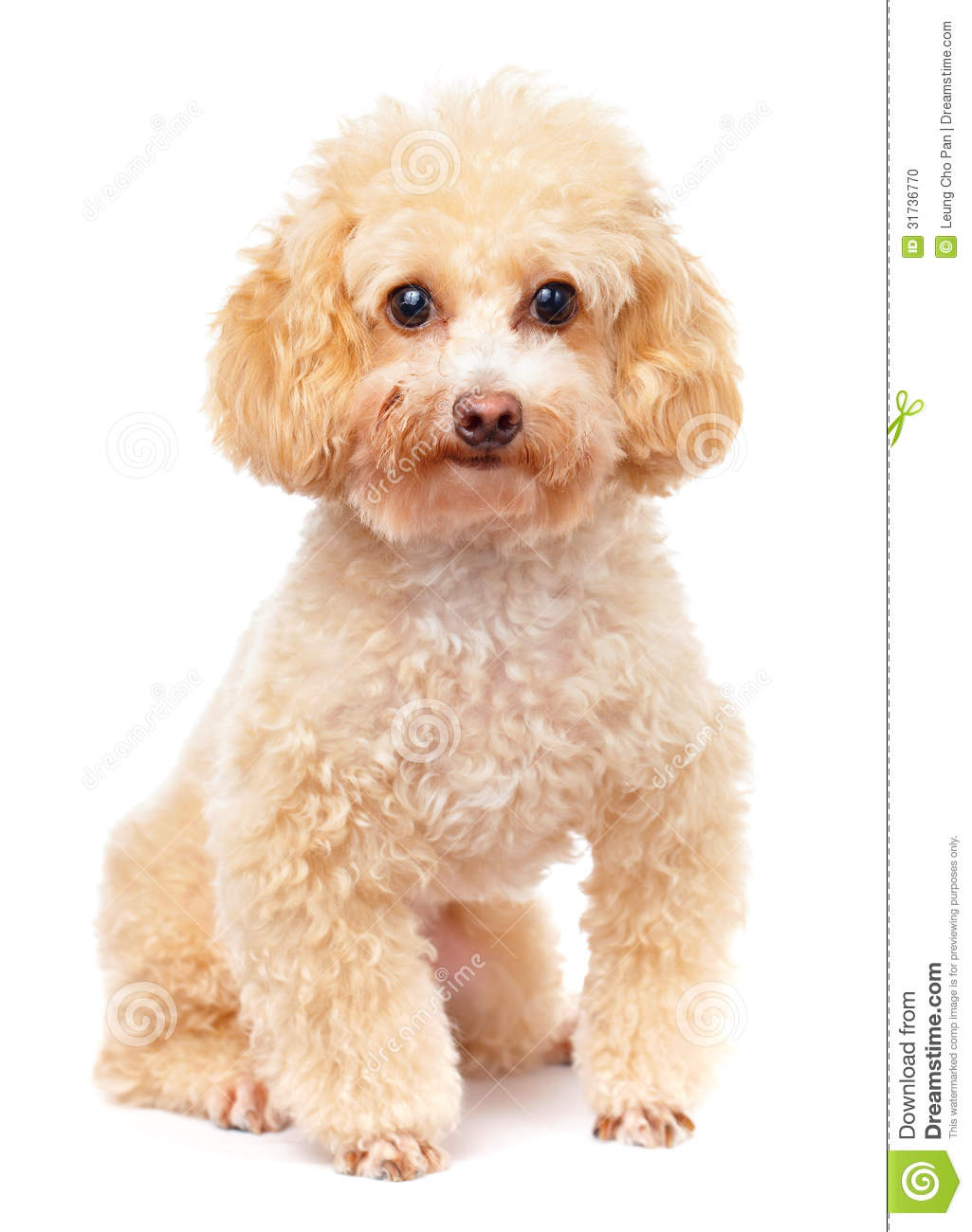 dog poodle stock photo image 31736770