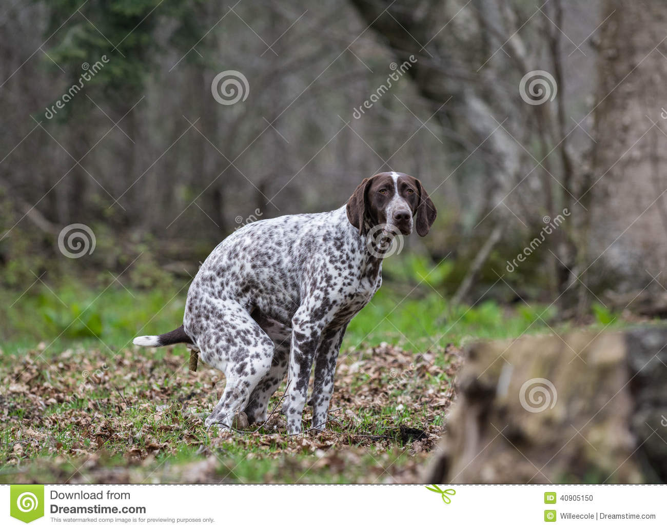 Dog Pooping Stock Photo Image Of Pooper German Canine