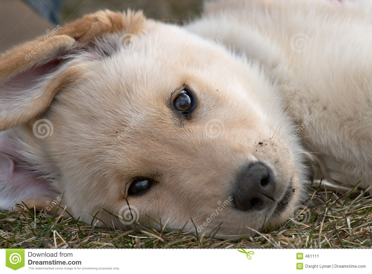 Download Dog Portrait stock image. Image of yellow, tired, portrait - 461111