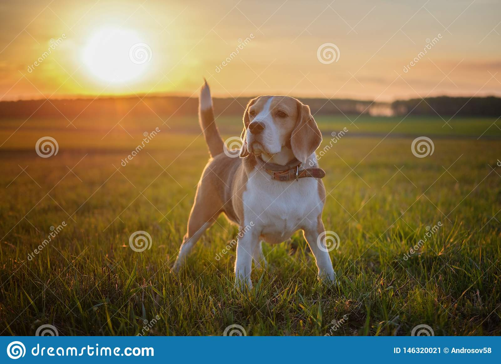 Dog portrait Beagle on a spring walk in a field