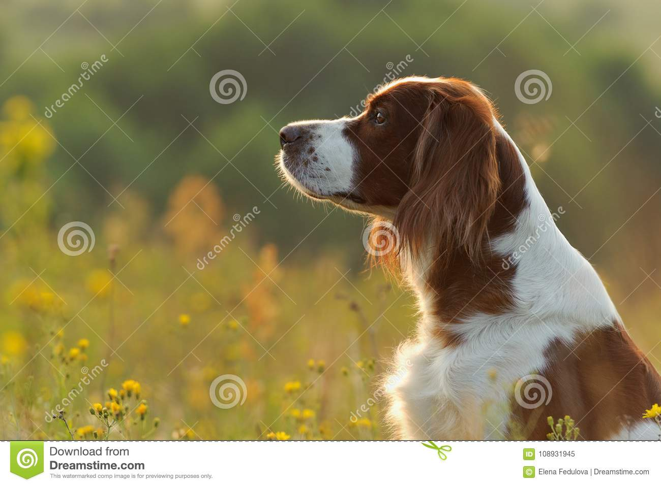 Dog portrait, irish red and white setter on golden sunset backgr