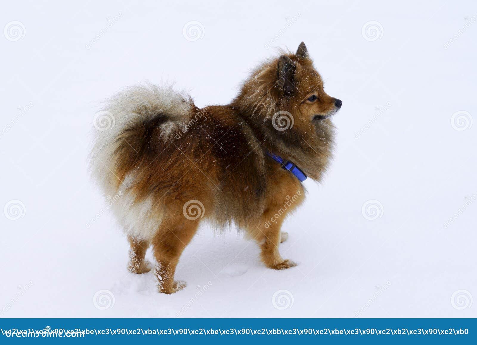 Dog portrait Spitz breed in winter on white background