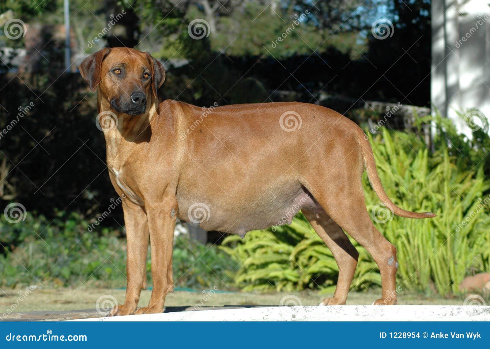 Dog pregnant