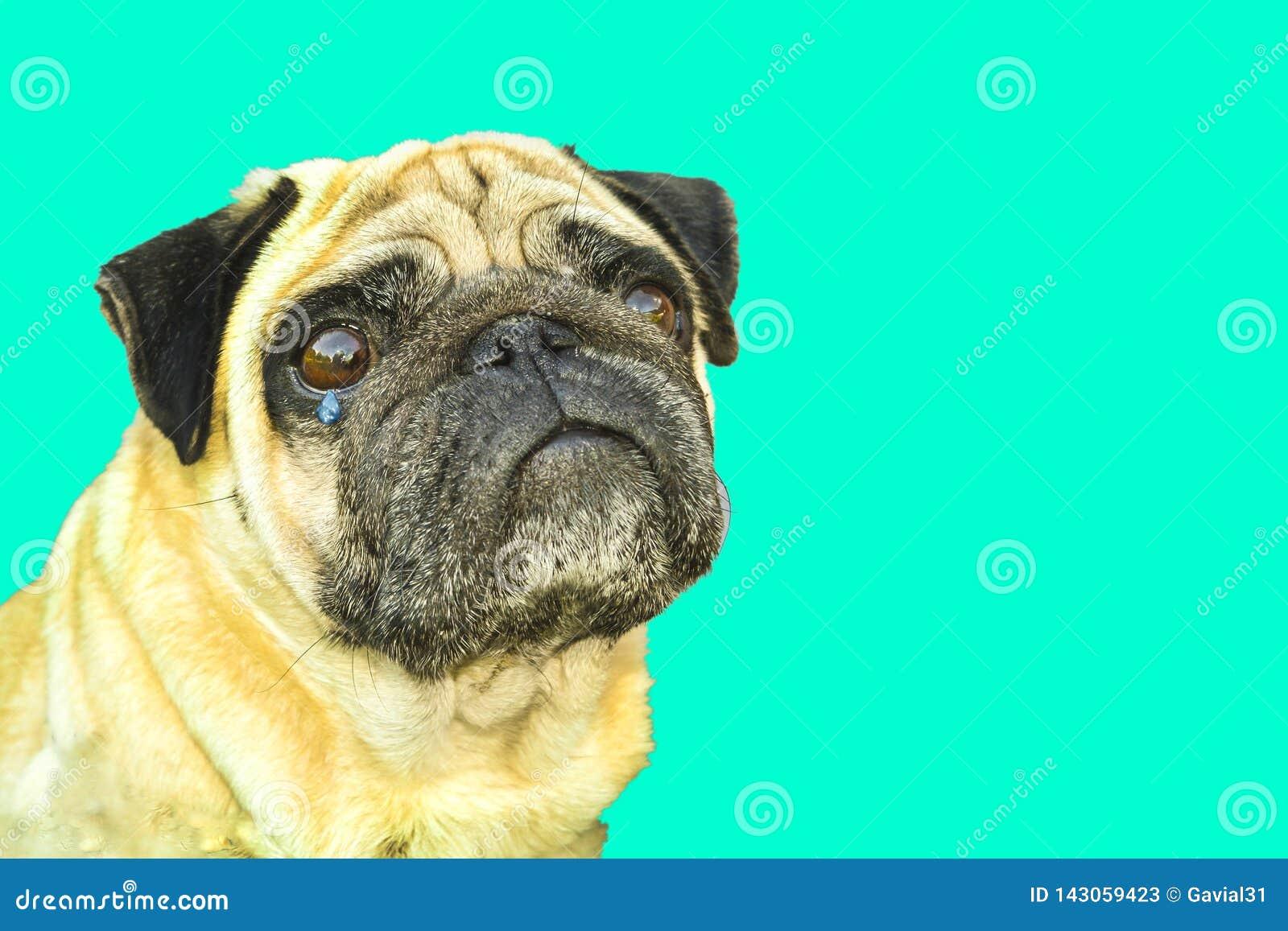 Dog pug crying