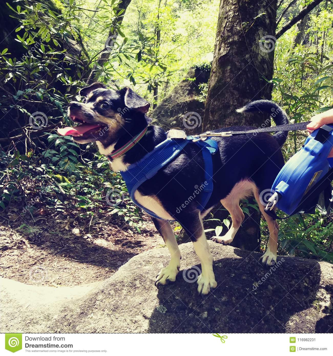 Dog puppy Chihuahua brack tongue sticking out happy on rock climbing mountain