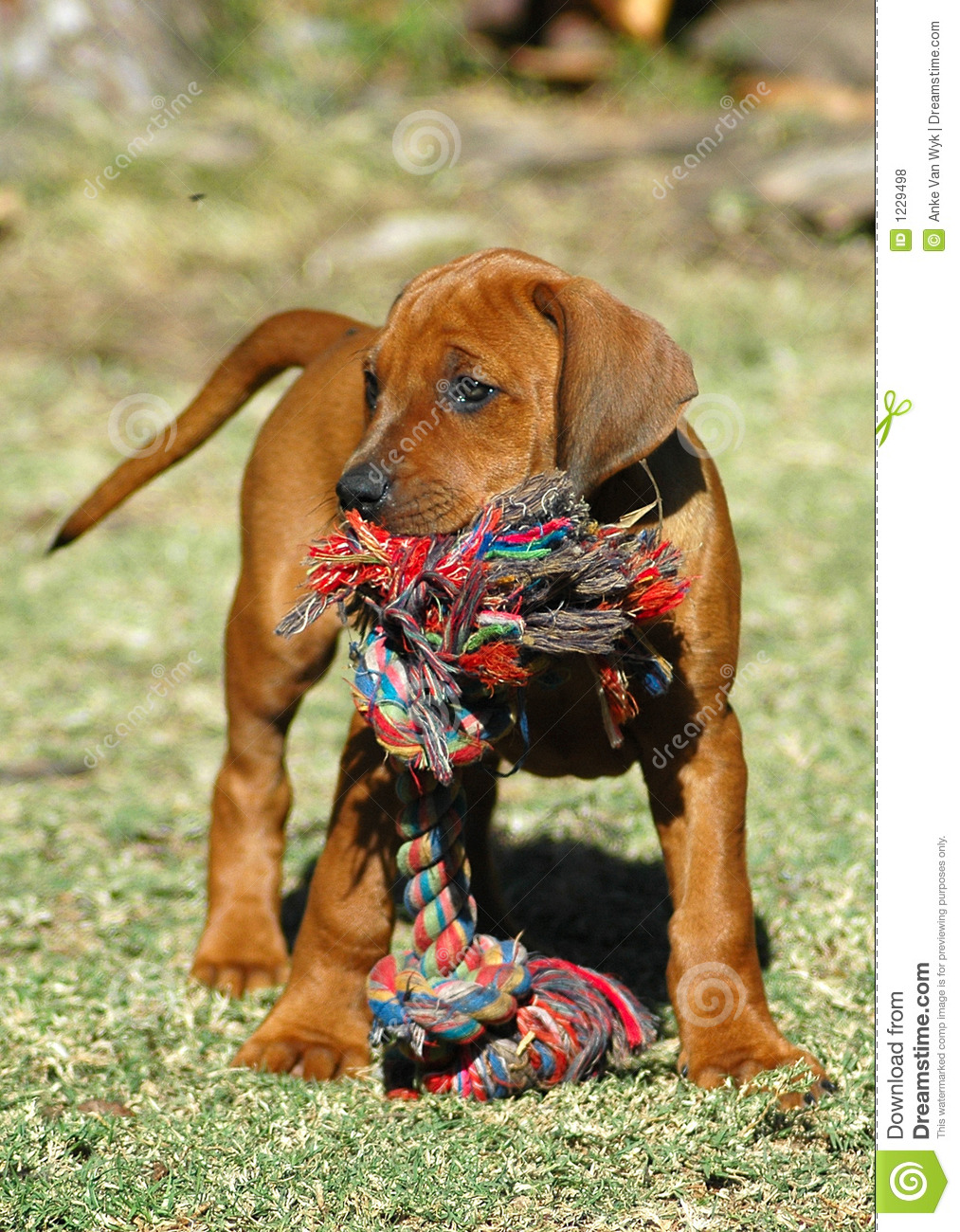 Dog puppy with toy
