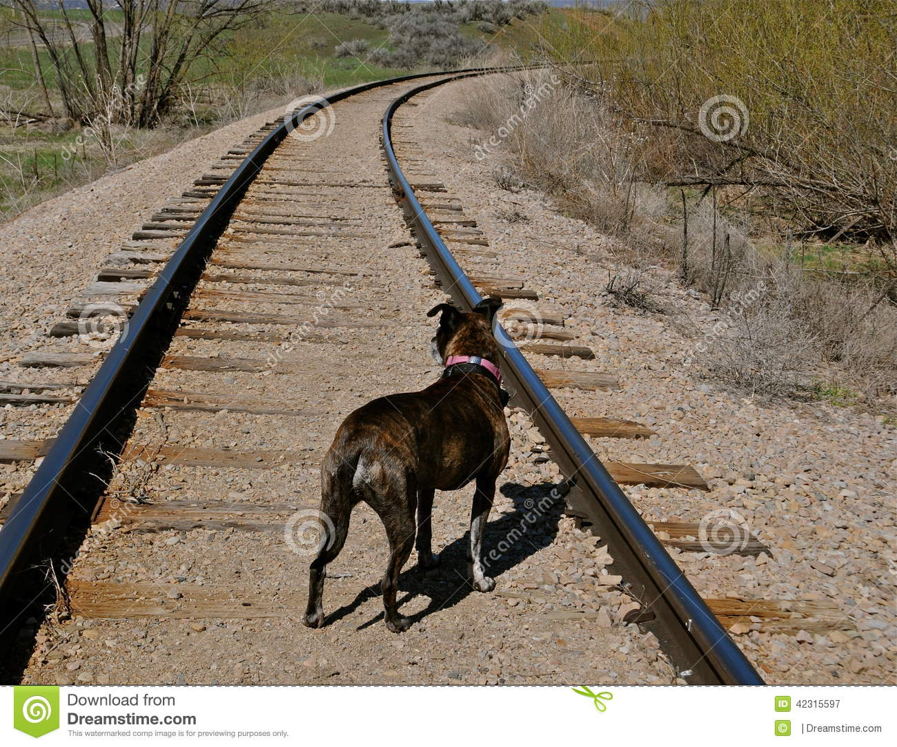 Young Wandering Dog Go Through Railroad Tracks_ Stock
