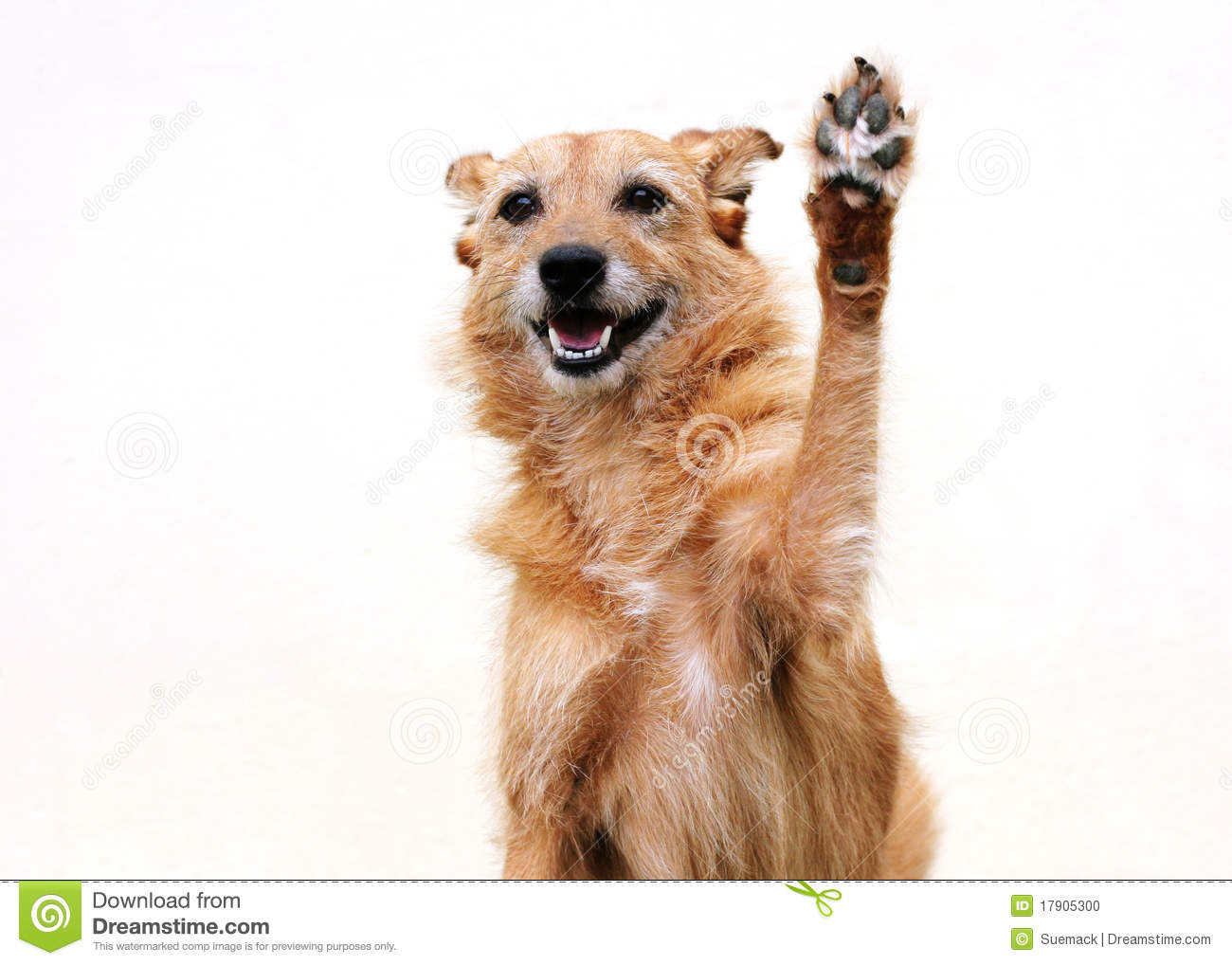 Cute scruffy terrier dog with her paw raised in a high five.