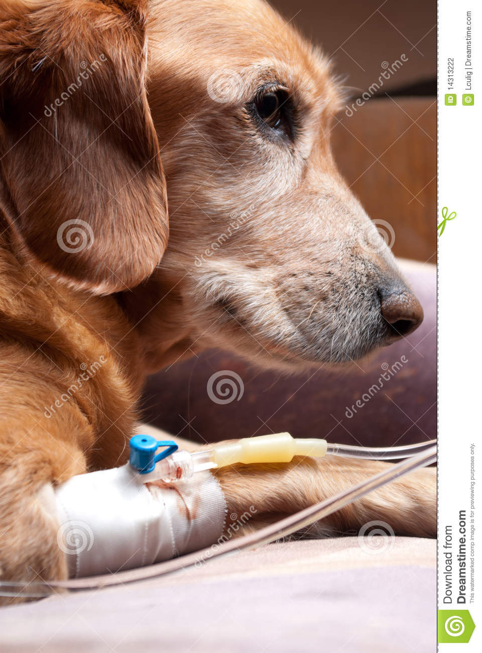 Dog Recovering With Cannula Intravenous Therapy Stock