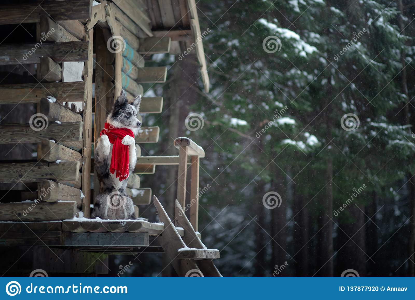 Dog in a red scarf at the wooden house. Border Collie in winter. Pet at walk