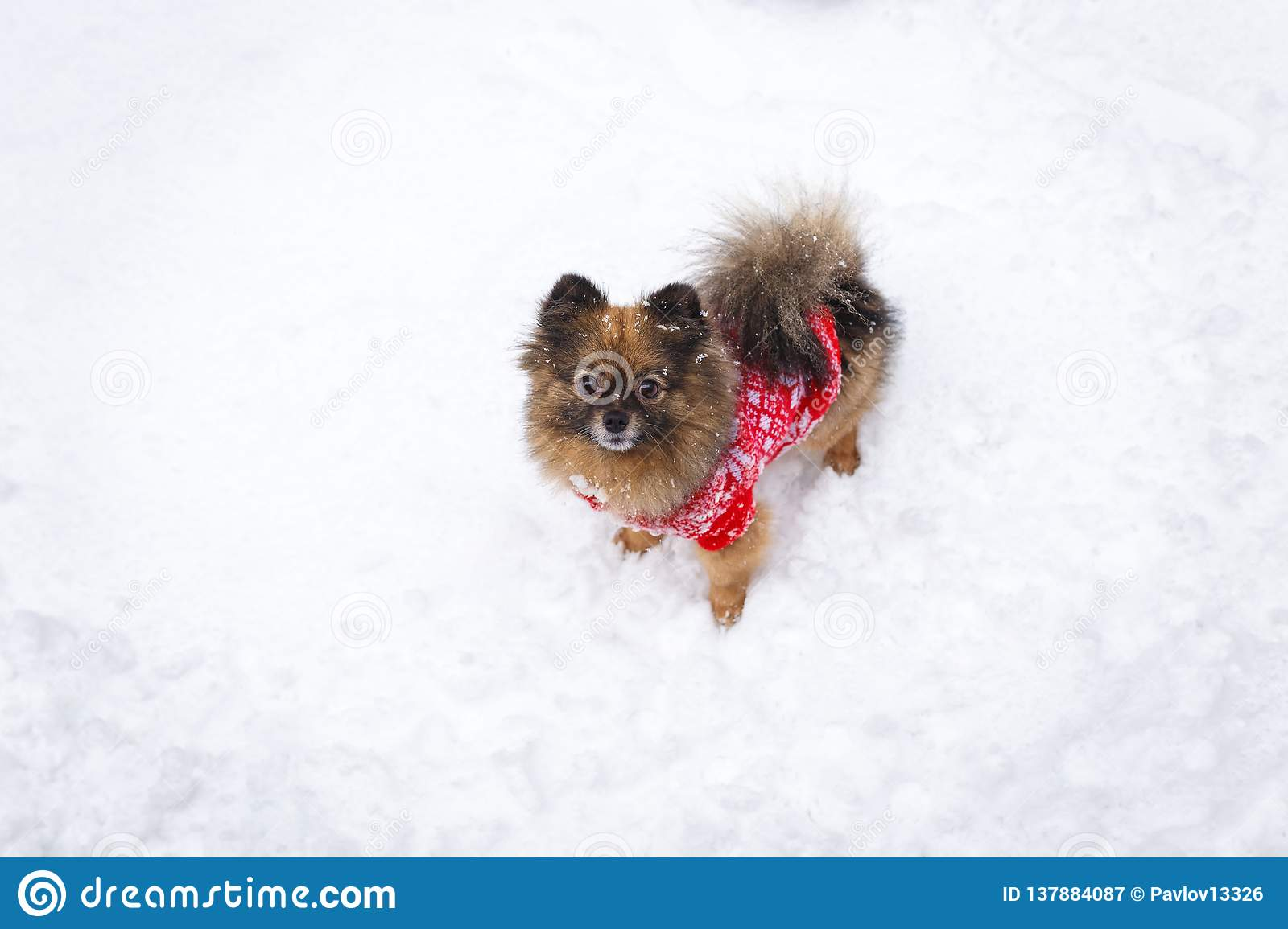 Dog in a red sweater in the winter forest