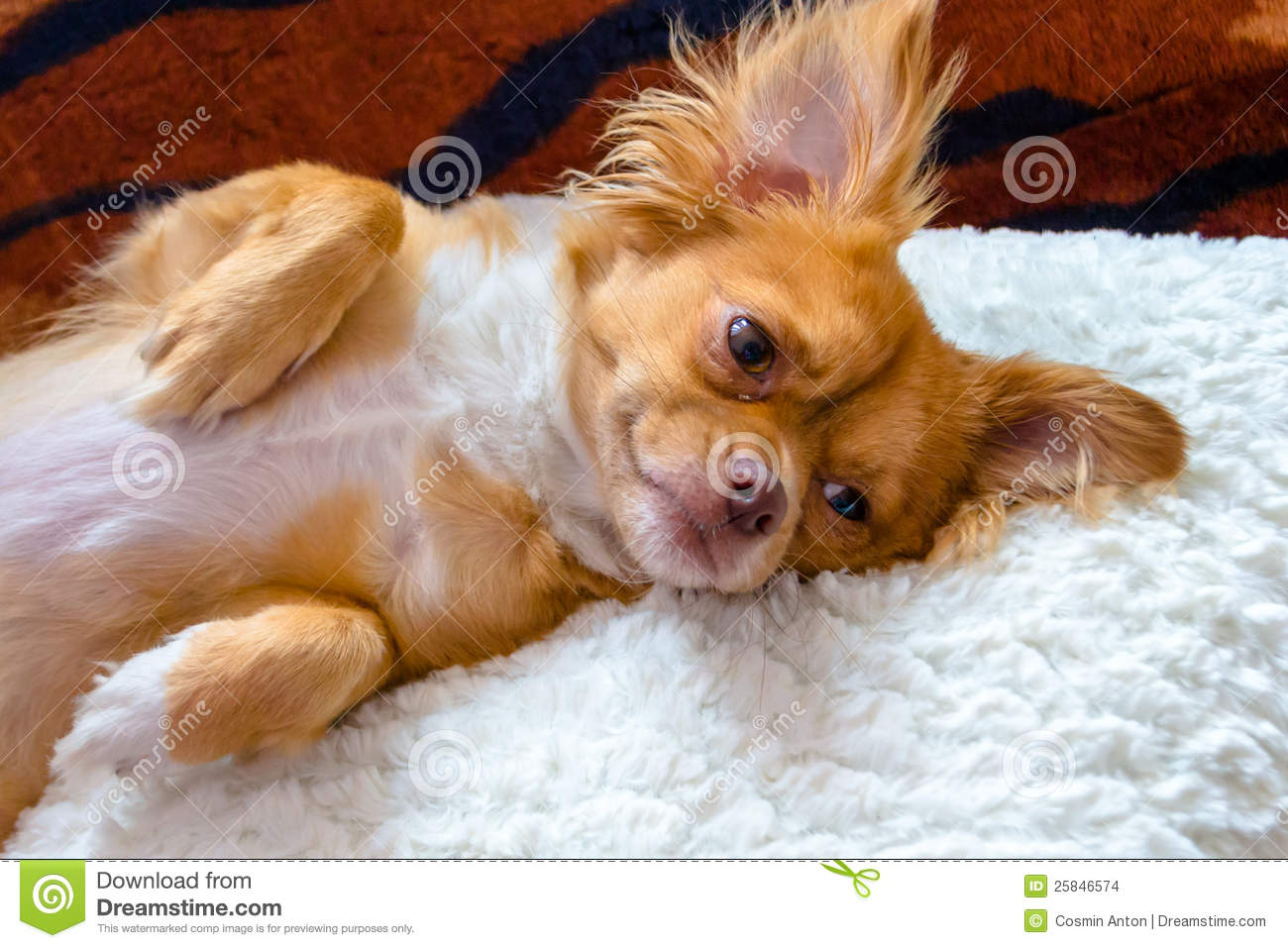 Animal Pillow Relaxation : Dog Relaxing On Pillow Stock Images - Image: 25846574