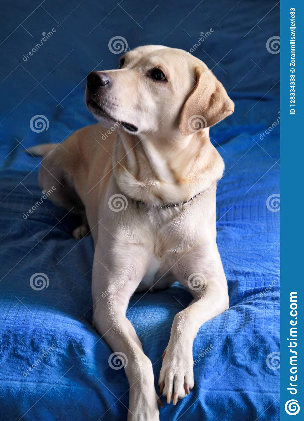 Dog is resting at home. Photo of yellow labrador retriever dog posing and resting on bed for photo shoot. Portrait of labrador.