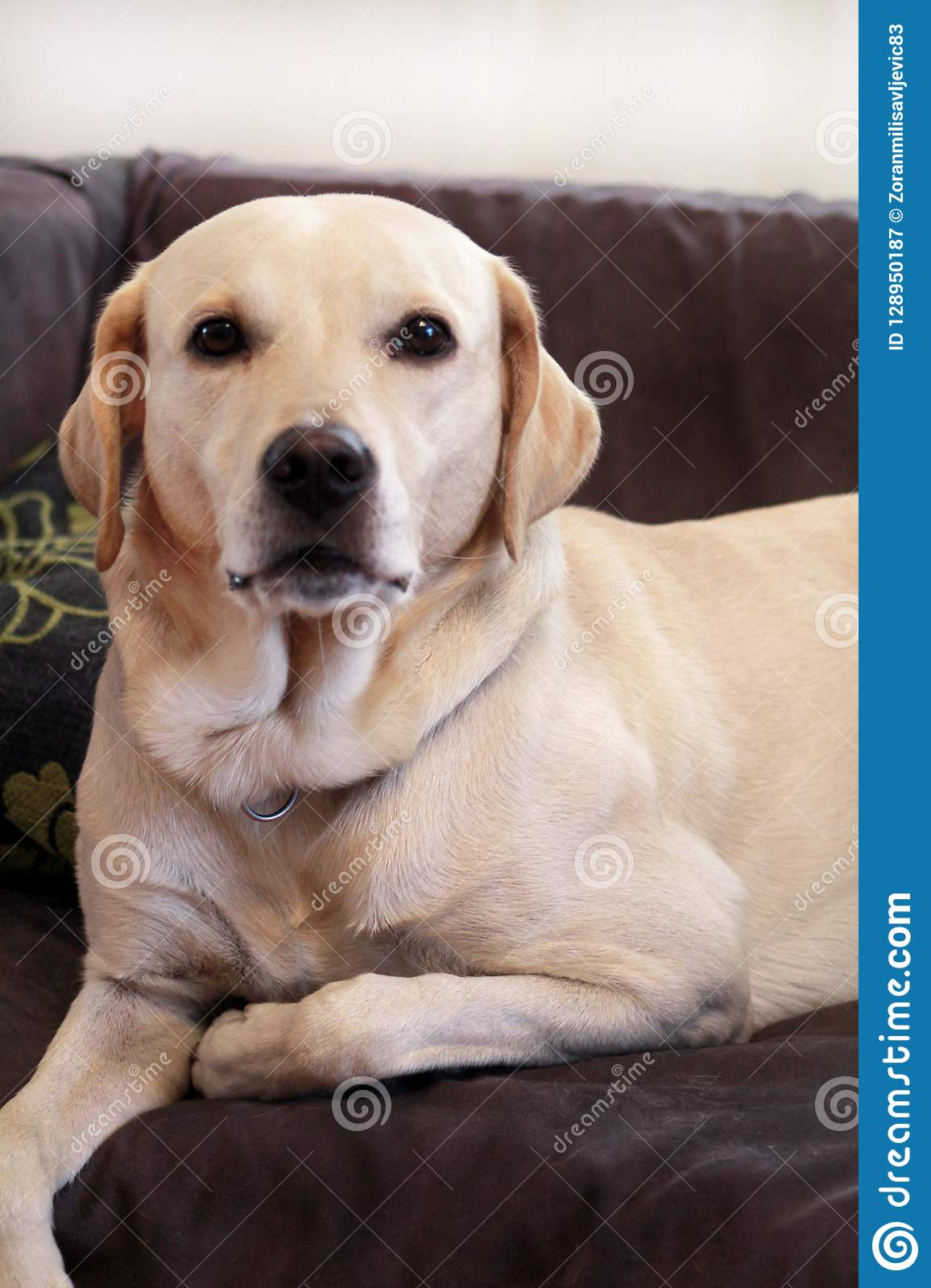 Dog Is Resting At Home Yellow Labrador Retriever Dog Laying In The Bed A Beautiful Dog Enjoys On Bed In The Living Room Lovely Dog Cute Doggy Pretty