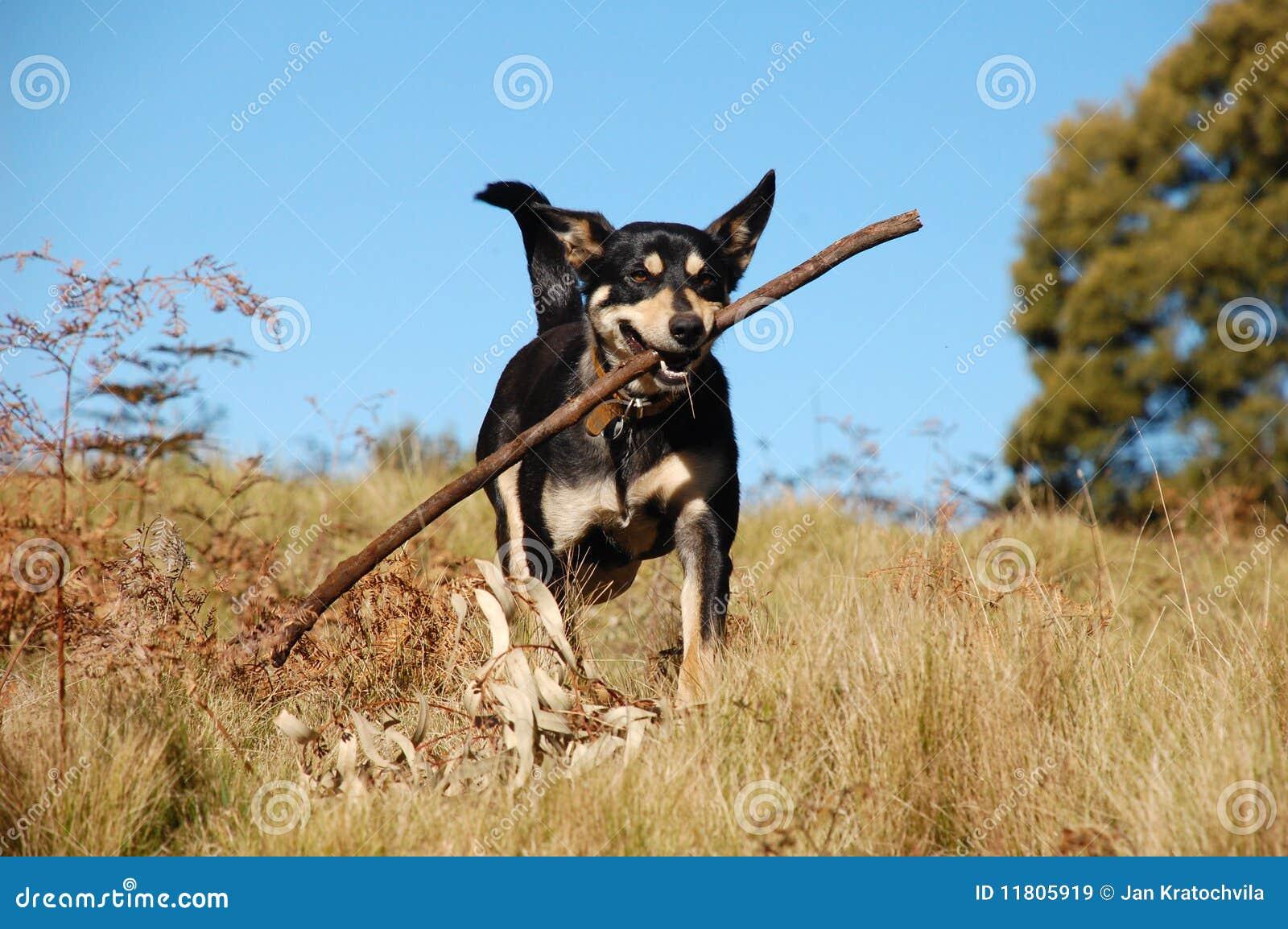 Dog Retrieving A Stick In Australian Bush Royalty Free